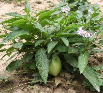 Pepino - jaki to owoc?